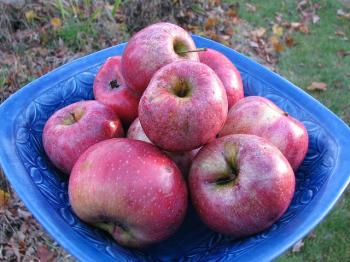 Des pommes un peu abimées, de la nourriture freegan.