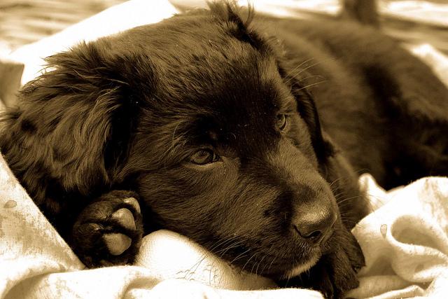 chiot labrador noir par y.becart